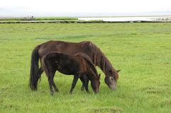 Die Pferdenfamilie Stockbilder