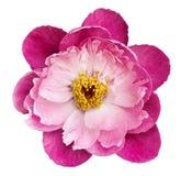 Die Pfingstrosenblume, die auf einem Weiß rosa-hochrot ist, lokalisierte Hintergrund mit Beschneidungspfad nave Nahaufnahme keine stockfotografie