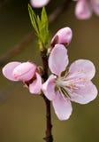 Die Pfirsich Blüte u. die Knospen Stockfoto