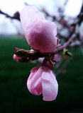 Die Pfirsichblüte Stockfotos