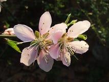 Die Pfirsichblüte Stockbild