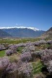 Die Pfirsichblüte in der vollen Blüte Lizenzfreies Stockfoto