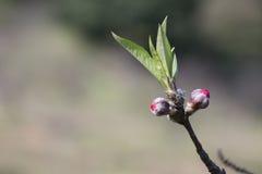 Die Pfirsichblüten Lizenzfreie Stockbilder