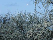 Die Pflaume, die gegen den Abendhimmel blüht Stockfotografie