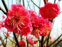 Die Pflaumenblüte, die rote Pflaumenblüte, rote Blume, Blumen Stockbilder