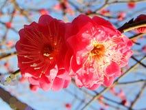 Die Pflaumenblüte, die rote Pflaumenblüte, rote Blume, Blumen Lizenzfreies Stockfoto