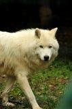 Die piercing Augen eines arktischen Wolfs Stockbild