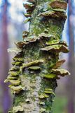 Die Pilze auf dem Stamm Stockfotografie