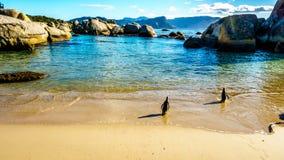 Die Pinguine, die ein Schwimmen an den Flusssteinen anstreben, setzen, ein populäres Naturreservat und ein Haus zu einer Kolonie  lizenzfreies stockfoto