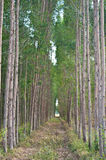 Die Plantage des Eukalyptus Stockfotos