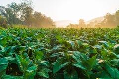 Die Plantage von Tabakbäumen unter der Morgensonne lizenzfreie stockfotos