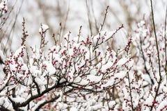 Die Plum Blossom-Knospen werden fertig zu bersten Stockbild