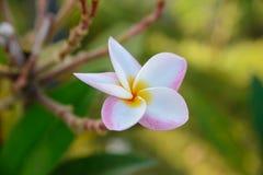 Die Plumeriablume, die auf Baum blüht - blühen Sie die weiße, rosa und gelbe Farbe Lizenzfreie Stockfotos