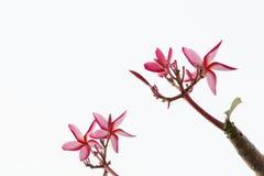 Die Plumeriablume, Frangipani Lizenzfreies Stockbild