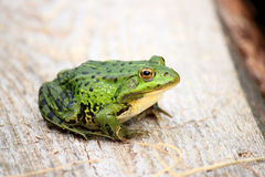 Die Poolfrosch Pelophylax-lessonae ist ein europäischer Frosch Stockfotografie
