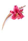 Die prachtvolle Lilienblume, die mit einem Cocopalmblatt eingestellt wird, ist Stockfoto