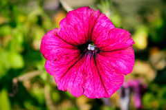 Die purpurrote Blume Lizenzfreie Stockfotos
