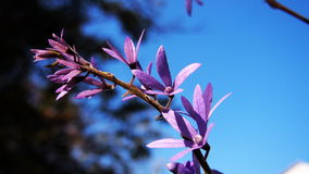 Die purpurrote Blume am Tag des blauen Himmels Lizenzfreie Stockfotos