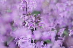 Die purpurrote Schönheit Stockbilder