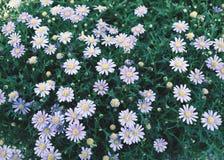 Die purpurroten Blumen Margaret, die blühen (Retro- Filter Helga) Lizenzfreies Stockbild
