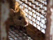 Die Ratte war in einem Käfig, der eine Ratte fängt die Ratte hat Ansteckung die Krankheit zu den Menschen wie Leptospirose, Pest  Stockfotografie