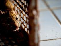 Die Ratte war in einem Käfig, der eine Ratte fängt die Ratte hat Ansteckung die Krankheit zu den Menschen wie Leptospirose, Pest  Lizenzfreie Stockfotos