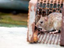 Die Ratte war in einem Käfig, der eine Ratte fängt, welche, die Ratte Ansteckung die Krankheit zu den Menschen wie Leptospirose h Lizenzfreie Stockbilder