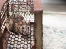 Die Ratte war in einem Käfig, der eine Ratte fängt die Ratte hat Ansteckung die Krankheit zu den Menschen Lizenzfreies Stockbild