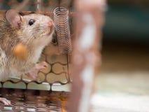 Die Ratte war in einem Käfigfangen die Ratte hat Ansteckung die Krankheit zu den Menschen wie Leptospirose, Pest Häuser und Wohnu Stockfotografie