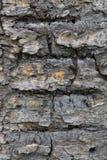 Die raue und zerfurchte Barke des alten Baums Stockbild