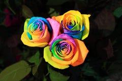 Die Regenbogen-schönen Rosen Stockbild