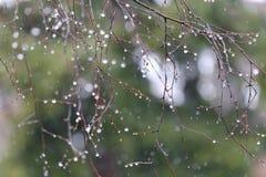 Die Regentropfen auf den Niederlassungen einer Birke Stockbild