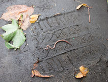 Die Regenwürmer, die auf die Spur vom Auto kriechen Lizenzfreie Stockbilder