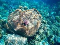 Die reichlichen von flachen Korallenriffen im südlichen von Thailand, stockfotos