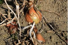 Die reife Zwiebel im Gemüsegarten Ernte nahe oben 2 Lizenzfreies Stockfoto