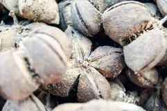 Die reifen sacha inchis sind Braun und sehen wie Blume aus oder shuriken Lizenzfreie Stockbilder