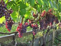Die reifenden Bündel von purpurroten Trauben Lizenzfreie Stockbilder