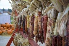 Die Reihe des Trocknens gelb, weiß, rot, des Browns und des purpurroten indischen Mais hängt durch Stapel von großen, bunten Kürb Stockbild