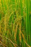 Die Reisfelder Stockbild