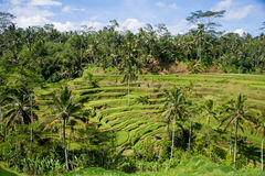 die Reisfelder von Bali Lizenzfreie Stockbilder