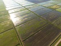 Die Reisfelder werden mit Wasser überschwemmt Überschwemmte Reispaddys Landwirtschaftliche Methoden des Anbauens des Reises auf d Stockfoto