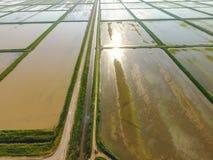 Die Reisfelder werden mit Wasser überschwemmt Überschwemmte Reispaddys Landwirtschaftliche Methoden des Anbauens des Reises auf d Lizenzfreies Stockfoto