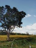 Die Reisweidelandschaft des Erntens von Jahreszeit stockbild