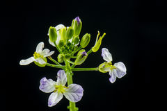 Die Rettichblumen Stockbilder