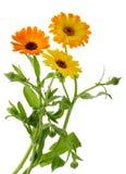 Die Ringelblume blüht Calendula officinalis lokalisiert ohne Schatten lizenzfreie stockbilder