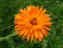 Die Ringelblume im Gras Lizenzfreies Stockbild