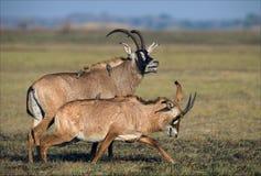 Die Roan Antilope. Lizenzfreie Stockbilder