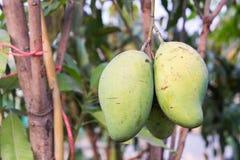 Die rohe Frucht der Baummango Stockbilder