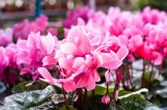 Die rosa Blume im Garten Stockbild