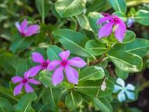 Die rosa Blume ist Blüte im Garten Stockfotografie